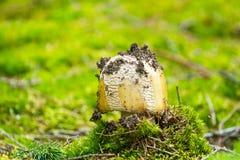 Amanita i skogen Arkivfoton