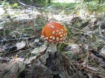 Amanita i skogen under sidorna Royaltyfria Bilder