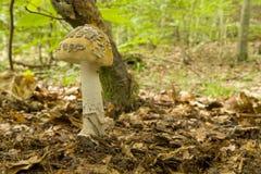 Amanita Inaurata II - Mushroom Stock Photos