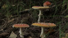 Amanita. Inedible mushrooms