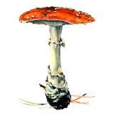 Amanita jadowita pieczarka, odosobniona royalty ilustracja