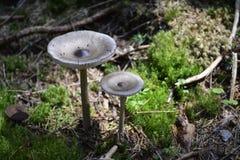 Amanita Mairei mushrooms Stock Images