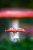 Amanita muscaria, ένα δηλητηριώδες μανιτάρι σε ένα δάσος Στοκ φωτογραφίες με δικαίωμα ελεύθερης χρήσης