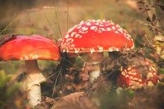 Amanita muscaria ή αγαρικό μυγών, κόκκινα δηλητηριώδη μανιτάρια Στοκ Εικόνα