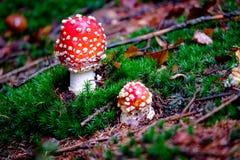 Amanita Muscaria, δηλητηριώδες μανιτάρι στο φυσικό δασικό υπόβαθρο Στοκ φωτογραφία με δικαίωμα ελεύθερης χρήσης