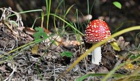 Amanita muscaria - τοξικό μανιτάρι στοκ φωτογραφίες
