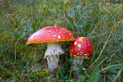 Amanita muscaria Royalty Free Stock Photos