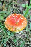 amanita muscaria zdjęcie stock