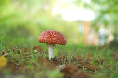 Amanita muscaria Royalty Free Stock Image