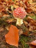amanita muscaria Στοκ Εικόνα