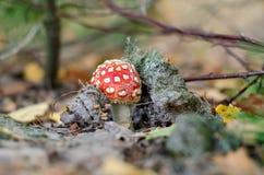 Amanita muscaria. Hallucinogenic and poisonous mushroom. Ukraine Stock Images