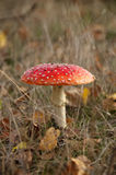 Amanita muscaria. Autumn is not complete without a good mushroom or toadstool, in this case the Amanita muscaria, commonly known as the fly agaric or fly amanita Stock Photos