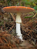 Amanita muscaria. Autumn is not complete without a good mushroom or toadstool, in this case the Amanita muscaria, commonly known as the fly agaric or fly amanita Stock Images