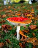 Amanita muscaria in Autumn. A toadstool, fly agaric, amanita muscaria, growing on grassland, covered in autumn colors Royalty Free Stock Photo