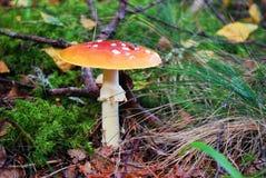 Amanita muscaria - beautiful mushroom - very toxic. European forest Stock Photography