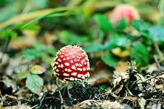 Amanita muscaria royalty free stock photo