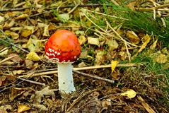 Amanita Muscaria. Commonly known as fly agaric growing among leaf litter on the forest floor Stock Image