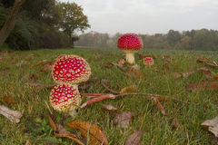 Amanita muscaria Stock Image