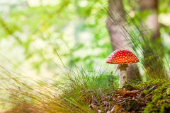 Amanita muscaria, commonly known as the fly agaric Stock Photo