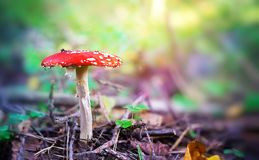 Amanita muscaria, czerwień pieczarkowy perkoz w drewnach Fotografia Stock