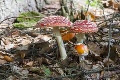 Amanita muscaria, czerwieni pieczarka na lesie Zdjęcie Stock