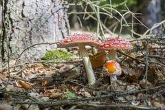 Amanita muscaria, czerwieni pieczarka na lesie Fotografia Stock