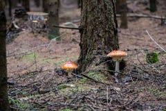 Amanita muscaria, czerwieni pieczarka na lesie Zdjęcia Stock