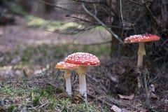 Amanita muscaria, czerwieni pieczarka na lesie Zdjęcie Royalty Free