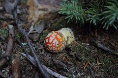 Amanita muscaria/czerwieni pieczarka z biel punktami w silverton Colorado Zdjęcie Stock