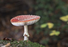 Amanita muscaria or fly agaric Stock Photos