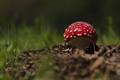 Amanita muscaria, fly agaric in the grass, Bussang, Vosges, France Royalty Free Stock Photography