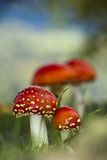 Amanita muscaria, fly agaric in the grass, Bussang, Vosges, France Royalty Free Stock Images