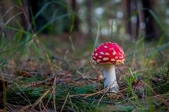 Amanita muscaria Fly Agaric Mushroom Stock Images