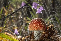 Amanita muscaria fly agaric red mushrooms with white spots in grass royalty free stock image
