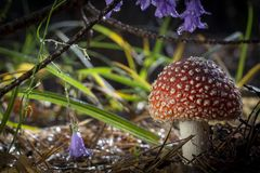 Amanita muscaria fly agaric red mushrooms with white spots in grass royalty free stock photo