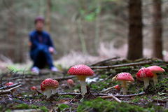 Amanita muscaria. In the foreground toadstools. In the background is blurred figure of a mushroom picker stock images
