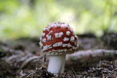 Amanita muscaria in forest - poisonous toadstool. Commonly known as fly agaric or fly amanita royalty free stock photo