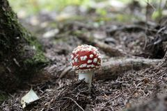 Amanita muscaria in forest - poisonous toadstool. Commonly known as fly agaric or fly amanita stock photography