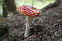 Amanita muscaria in forest - poisonous toadstool. Commonly known as fly agaric or fly amanita royalty free stock images