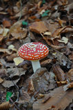 Amanita muscaria. Growing amid the leaves in the forest Stock Photo