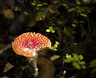 Amanita Muscaria growing on the forest grounds Royalty Free Stock Images