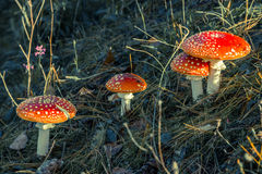 Amanita muscaria. On the lawn, bathed by the sun Stock Images