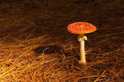 Amanita muscaria Stock Photo