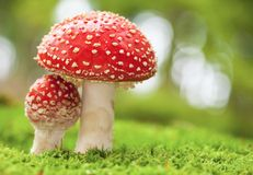 Amanita muscaria. Macro photo of amanita muscaria in forest Royalty Free Stock Photo