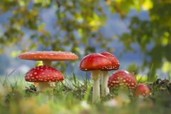 Amanita muscaria, many fly agarics in the grass Royalty Free Stock Image