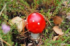 Amanita muscaria mushrom Stock Photography