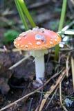 Amanita muscaria mushroom Stock Photography