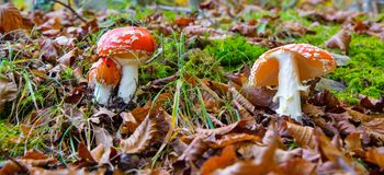 Amanita muscaria mushroom in a forest of beeches. Amanita muscaria in a forest of beeches Royalty Free Stock Photos