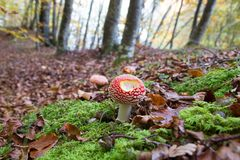 Amanita muscaria mushroom in a forest of beeches. Amanita muscaria in a forest of beeches Royalty Free Stock Photo