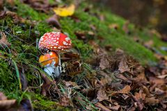 Amanita muscaria mushroom in a forest of beeches, Italy. Amanita muscaria mushroom in a forest of beeches Stock Photo